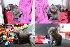 Baby kittens playing with toys and with Great Britain flag, multicam royalty free stock images