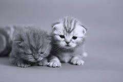 British Shorthair baby kittens Royalty Free Stock Image