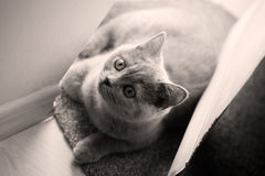 British Shorthair baby looking above Royalty Free Stock Photo
