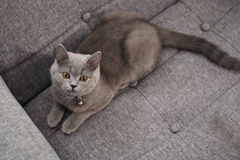 British Shorthair baby looking above Royalty Free Stock Image