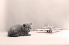 British Shorthair baby looking at a plane Stock Photos