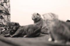 British Shorthair baby Stock Image
