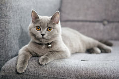 British Shorthair baby, orange eyes Stock Images