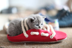 British Shorthair baby in a pair of summer slippers Royalty Free Stock Photography