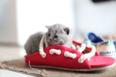 British Shorthair baby in a pair of summer slippers Stock Photos