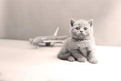 British Shorthair baby and a plane Stock Photo