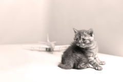 British Shorthair baby and a plane Stock Images