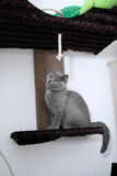 British Shorthair Stock Photography