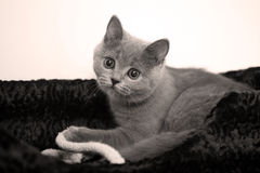 British Shorthair Royalty Free Stock Image