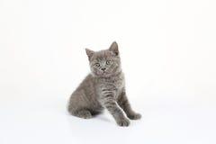 British Shorthair baby portrait, white background, isolated Royalty Free Stock Images