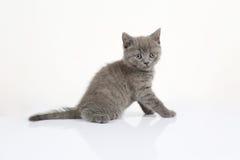 British Shorthair baby portrait, white background, isolated Royalty Free Stock Image