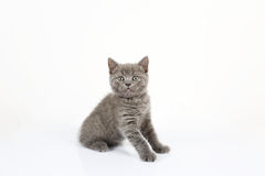 British Shorthair baby portrait, white background, isolated Royalty Free Stock Photo