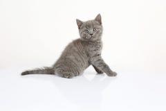 British Shorthair baby portrait, white background, isolated Stock Photo