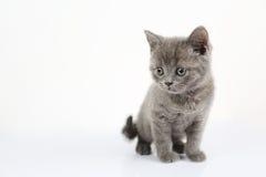 British Shorthair baby portrait, white background, isolated. Newly born British Shorthair kitten portrait, close-up view, isolated on a white background royalty free stock photos