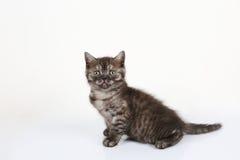 British Shorthair baby portrait, white background, isolated Stock Images