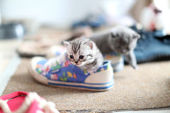 British Shorthair baby in a shoe Royalty Free Stock Image