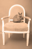 British Shorthair baby Stock Photo