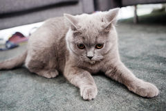 British Shorthair. Baby sitting on the carpet Stock Image