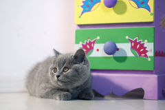 British shorthair baby Stock Image