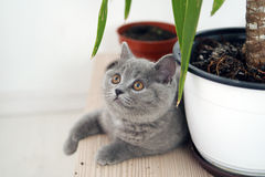 British Shorthair baby Royalty Free Stock Images