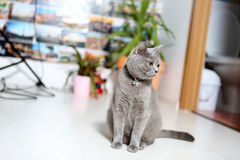 British Shorthair baby. Sitting near a pot of flower royalty free stock images