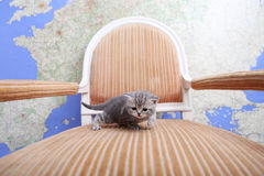 British Shorthair baby. Sitting on a vintage armchair Stock Photo