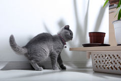 British Shorthair Stock Images