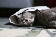British Shorthair in a bag Stock Images