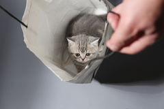 British Shorthair in a bag Royalty Free Stock Images