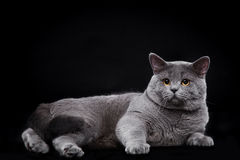 British Shorthair on black backgroun Royalty Free Stock Photography