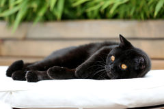 British Shorthair black cat in the garden. British Shorthair is the pedigreed version of the traditional British domestic cat. The most familiar color variant is Royalty Free Stock Photography