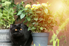 British Shorthair black cat portrait near a pot of roses. British Shorthair is the pedigreed version of the traditional British domestic cat. The most familiar Stock Image