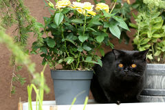 British Shorthair black cat portrait near a pot of roses. British Shorthair is the pedigreed version of the traditional British domestic cat. The most familiar Royalty Free Stock Photo