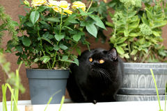 British Shorthair black cat portrait near a pot of roses. British Shorthair is the pedigreed version of the traditional British domestic cat. The most familiar Stock Photography