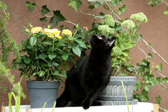 British Shorthair black cat portrait near a pot of roses. British Shorthair is the pedigreed version of the traditional British domestic cat. The most familiar Stock Photos