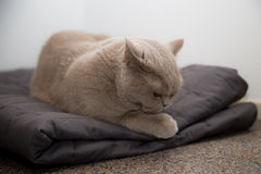 British shorthair on a blanket Royalty Free Stock Photography