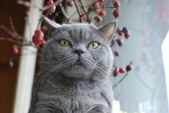 British shorthair blue cat Royalty Free Stock Photography