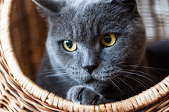 British Shorthair Blue cat in the wicker basket Royalty Free Stock Images