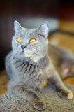 British Shorthair blue female. British Shorthair blue female, Cat is a pedigree, beautiful house cat, yellow cat eyes, cat, the Cheshire smile, a pet stock photo