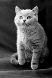 British shorthair blue kitten Royalty Free Stock Photo