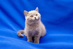 British shorthair blue kitten Stock Image