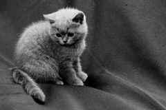 British shorthair blue kitten Royalty Free Stock Image