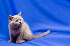 British shorthair blue kitten Stock Photography
