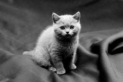 British shorthair blue kitten Stock Photos
