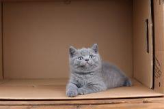 British Shorthair blue kitten sitting in a box, isolated portrait. British Shorthair kitten sitting in a cardboard box stock image