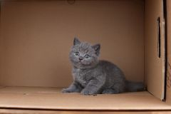 British Shorthair blue kitten sitting in a box, isolated portrait. British Shorthair kitten sitting in a cardboard box royalty free stock images