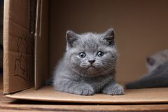 British Shorthair blue kitten sitting in a box, isolated portrait. British Shorthair kitten sitting in a cardboard box royalty free stock photography