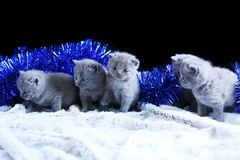 Small kittens and blue Christmas decorations. British Shorthair blue kitten sitting among Christmas decorations stock image