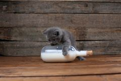 British Shorthair blue new born kitten near a bottle of milk. British Shorthair new born kitten near a bottle of milk, wooden background, portrait royalty free stock image
