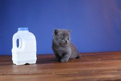 British Shorthair blue new born kitten near a bottle of milk. British Shorthair new born kitten near a bottle of milk, wooden background, portrait stock images